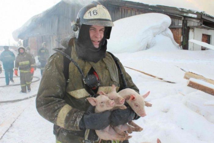 Томские пожарные вытащили более ста поросят из горящего свинарника (6 фото)