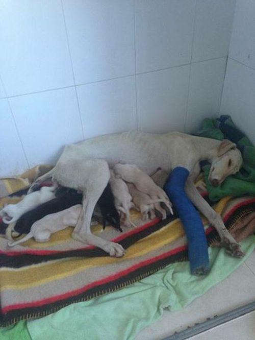 Собака со сломанной лапой показала ветеринарам путь к своим щенкам (7 фото)