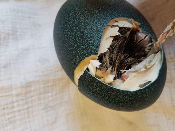 Девушка купила яйцо и высидела птицу эму (8 фото)