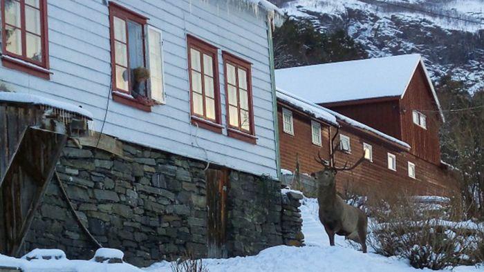 В Норвегии олень ежедневно приходит в гости к своим спасителям (3 фото)