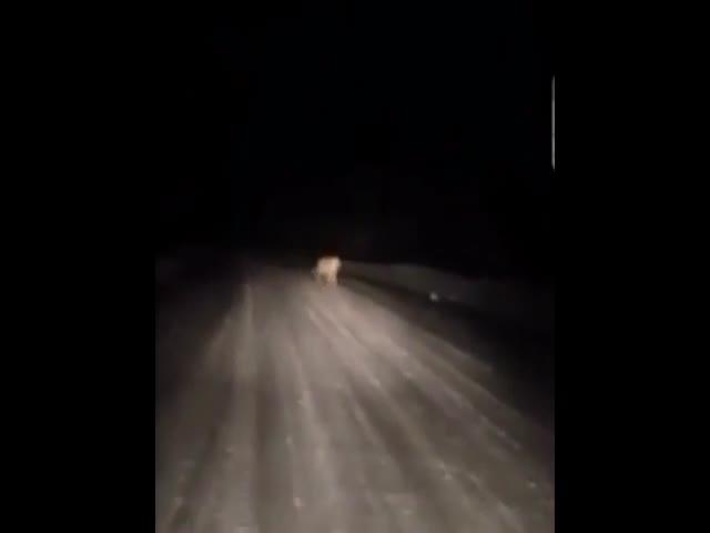 Тигры на проезжей части в Приморье