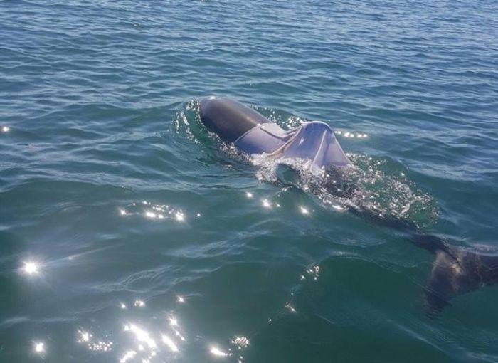 В Австралии ищут дельфина в футболке (2 фото)