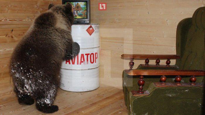 На аэродроме под Тверью живет медвежонок по кличке Мансур (7 фото)