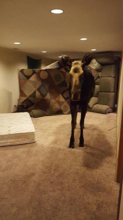 Лось решил немного погреться и вошел в дом к американке (3 фото)