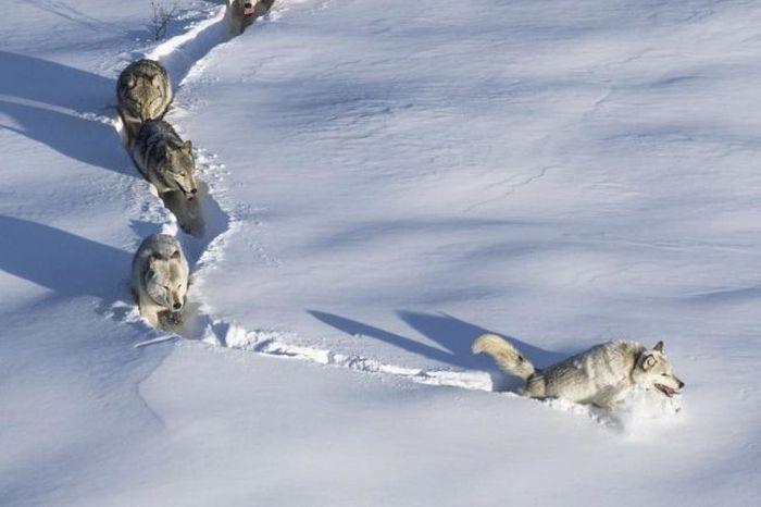«Шерстяной волчара» - новый мем Рунета (9 фото)