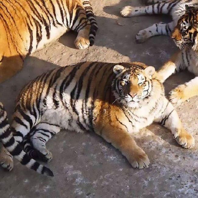 В китайском зоопарке растолстели амурские тигры (6 фото)