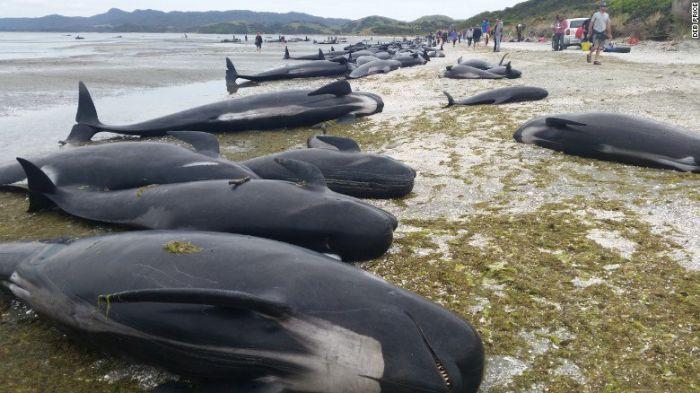 Более 400 дельфинов выбросились на берег Новой Зеландии (5 фото + видео)
