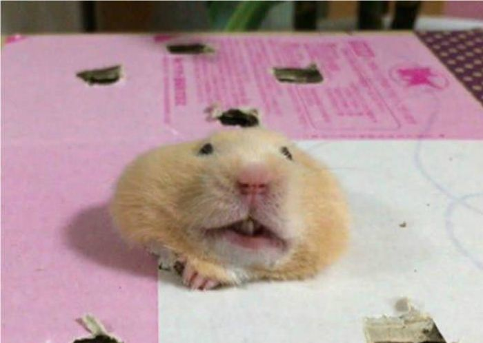 Настырный хомяк (4 фото)