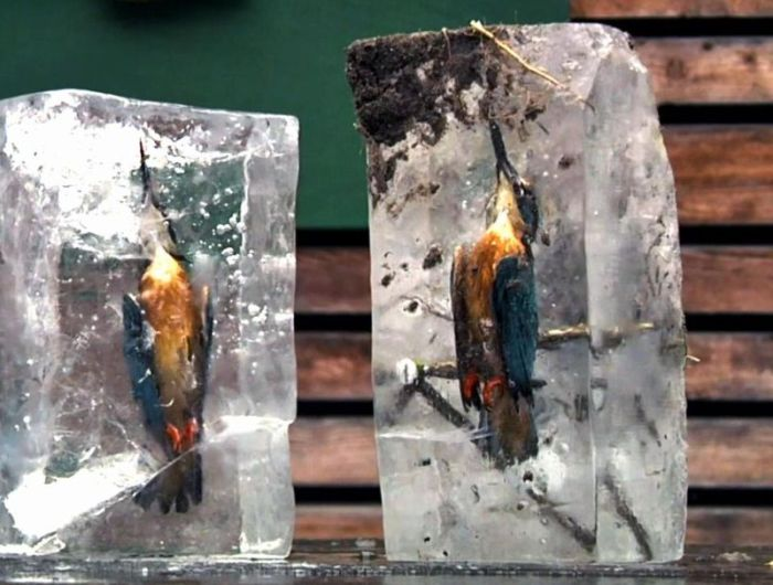 Зимородки вмерзли в лед водоема (3 фото)