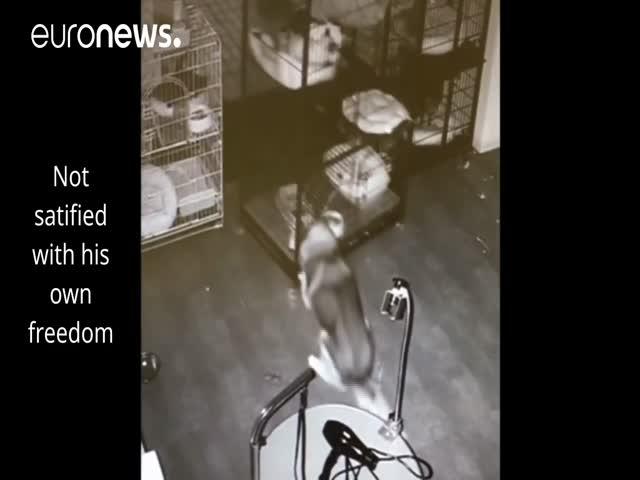 Побег хаски из ветеринарной клиники