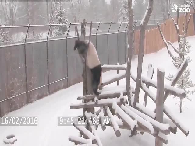 Панда развлекается, как умеет