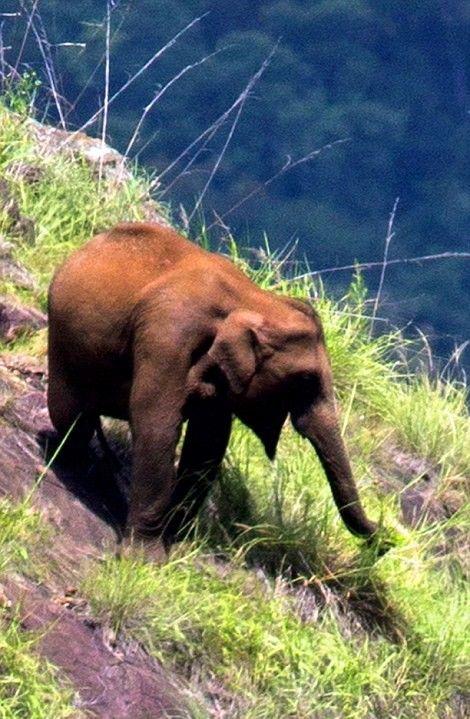Слоны, пасущиеся высоко в горах Индии (3 фото)