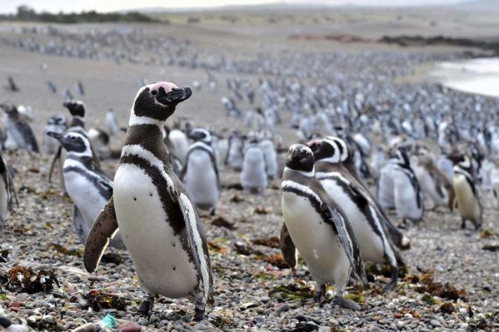 Нерест рыбы привлек в Аргентину рекордное количество пингвинов (4 фото)