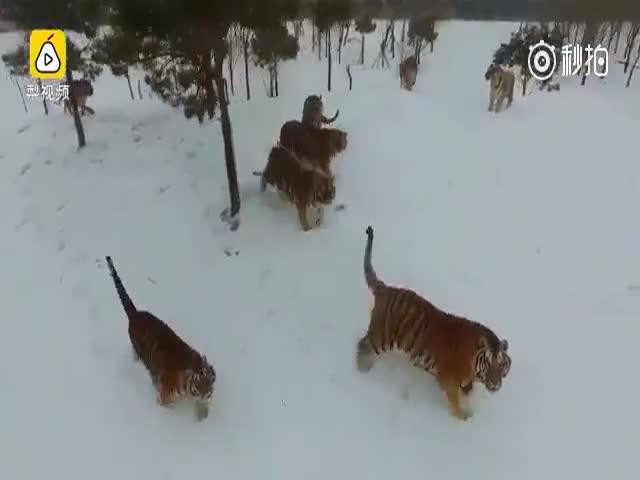 Тигры заинтересовались дроном