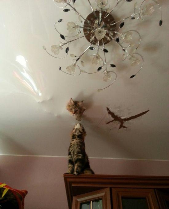 Сообразительные кошки породы мейн-кун (3 фото)