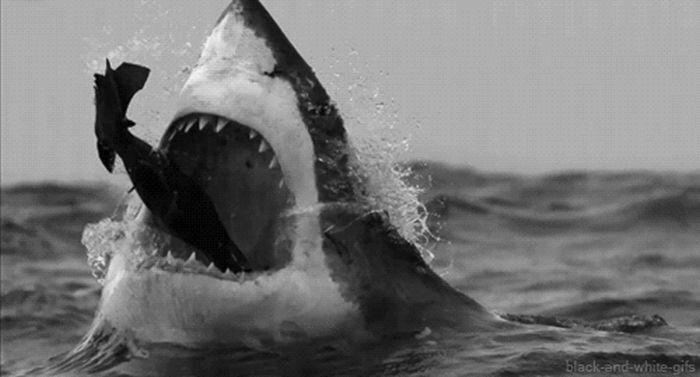 Интересные гифки с акулами (16 гифок)