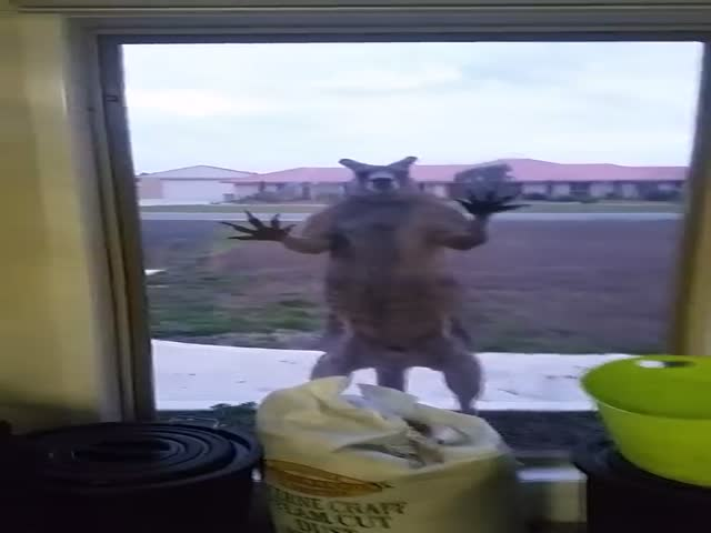 Кенгуру ломится в дом