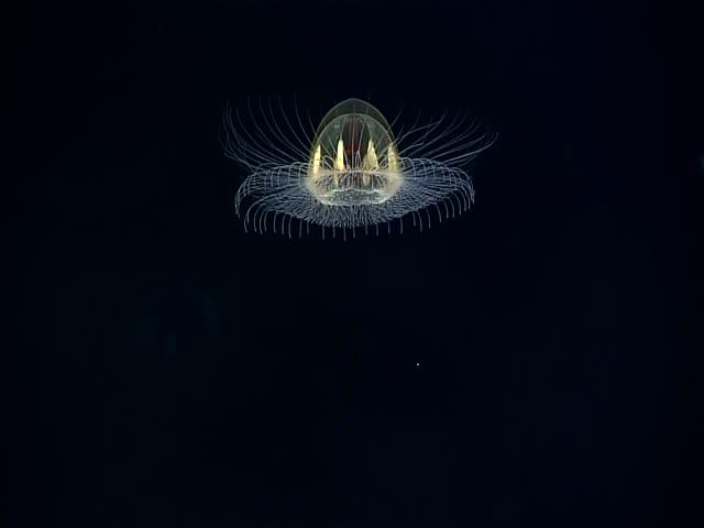 Великолепная медуза