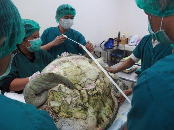 В Таиланде спасли черепаху, достав из ее желудка 915 монет (8 фото)