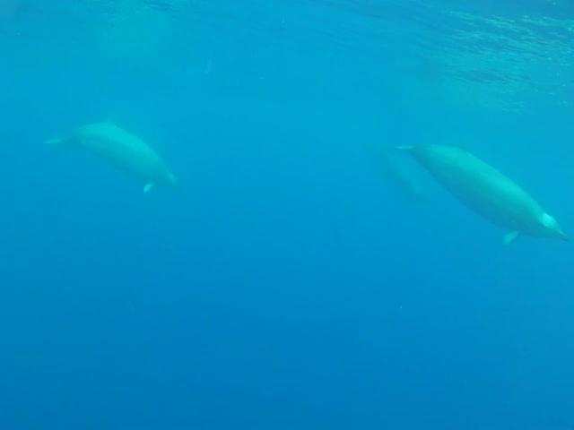 Первое видео редких китов ремнезубов Тру