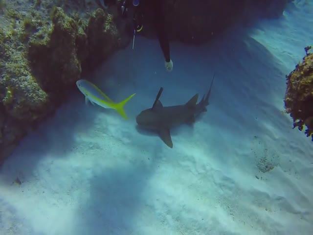 Дайвер вытащил нож из головы акулы