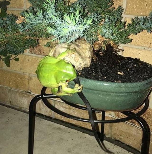 Голодная лягушка пообедала хищником (3 фото)