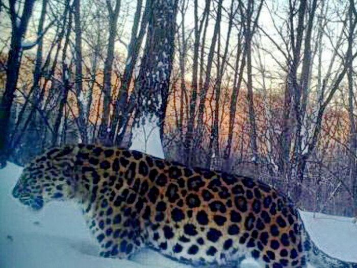 Беременная самка дальневосточного леопарда оказалась толстым самцом  (2 фото)