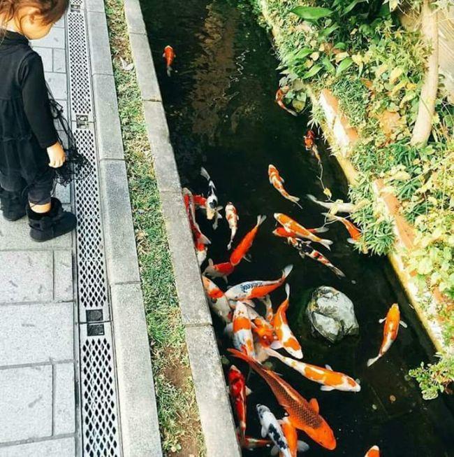 Сточный канал с декоративными рыбами в Японии (9 фото)