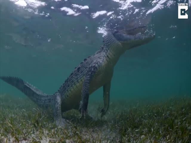 Туристы плавают с крокодилами
