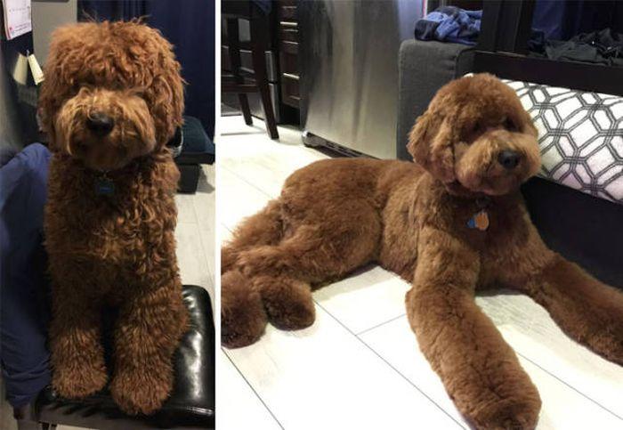 Собаки до и после стрижки (50 фото)