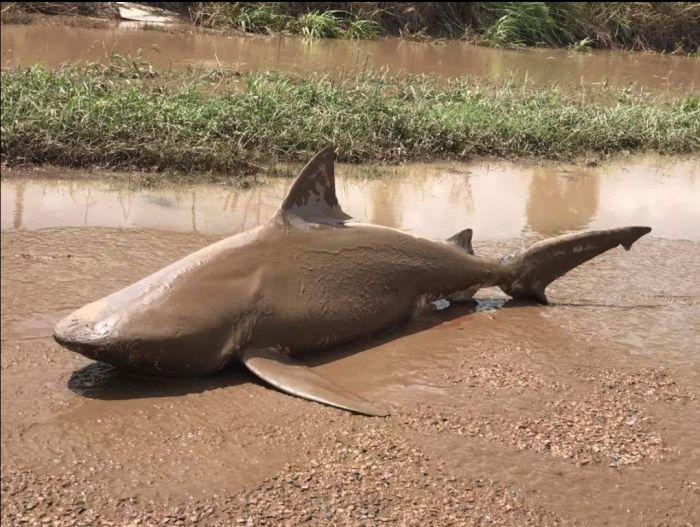 Австралийцы обнаружили бычью акулу в 10 км от побережья (3 фото)