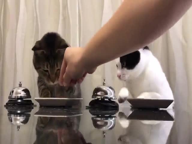 Коты пользуются звонком, чтобы получить еду
