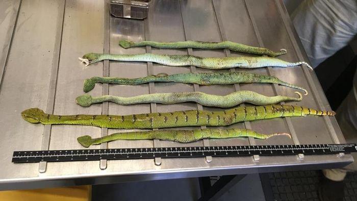 В Австралию под видом обуви прислали коробку с ядовитыми змеями, скорпионами и пауками (4 фото)