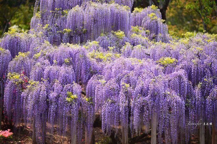 Японский фестиваль цветущей глицинии Great Westeria (35 фото)