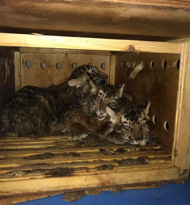В аэропорту Бейрута внутри ящика обнаружили трех сибирских тигрят (6 фото)