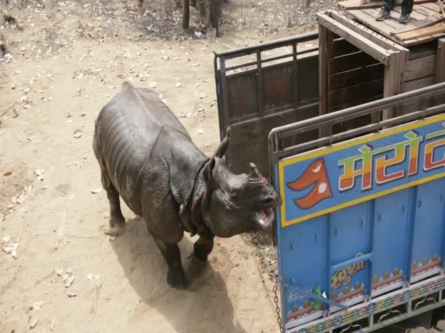 Носорог напал на зоозащитников