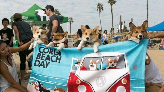 В Калифорнии прошел «День пляжных корги» (17 фото)
