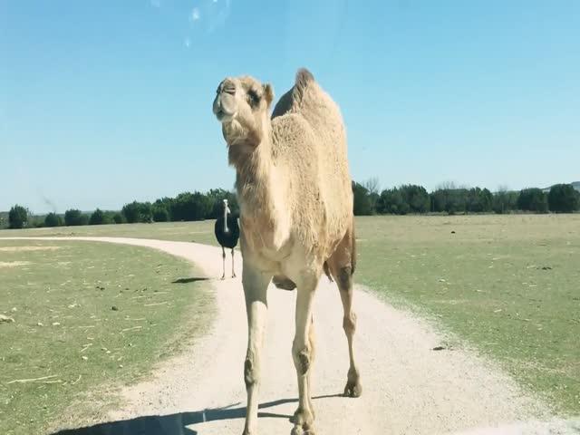 Верблюд и страус остановили автомобиль с туристами
