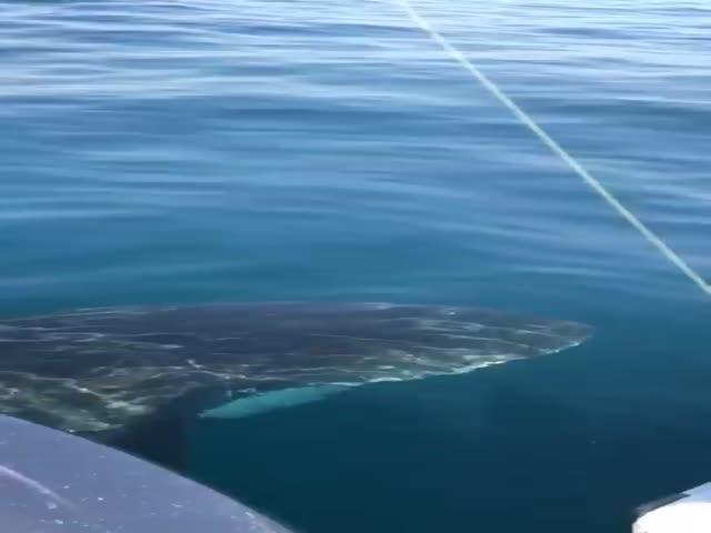 Австралийские рыбаки прогнали акулу