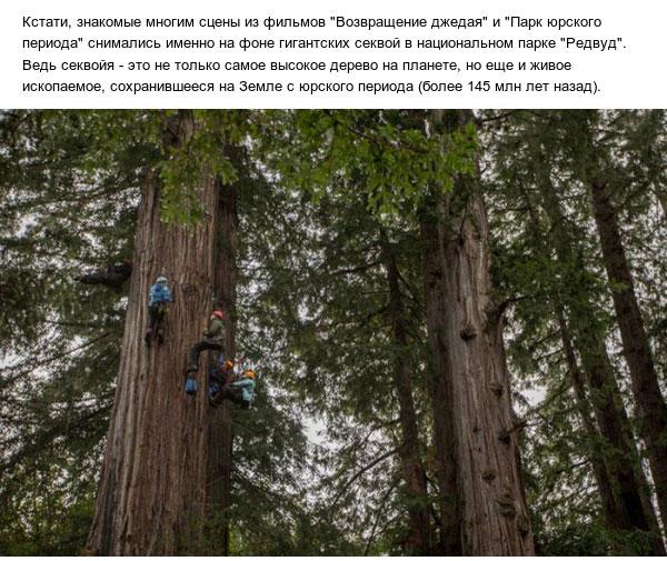 Как выглядят шишки самого высокого дерева на планете (4 фото)