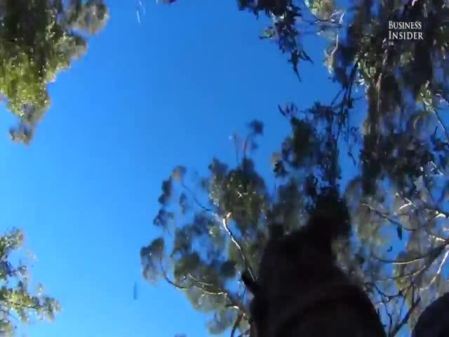 Австралийский лесоруб пилит гигантские деревья