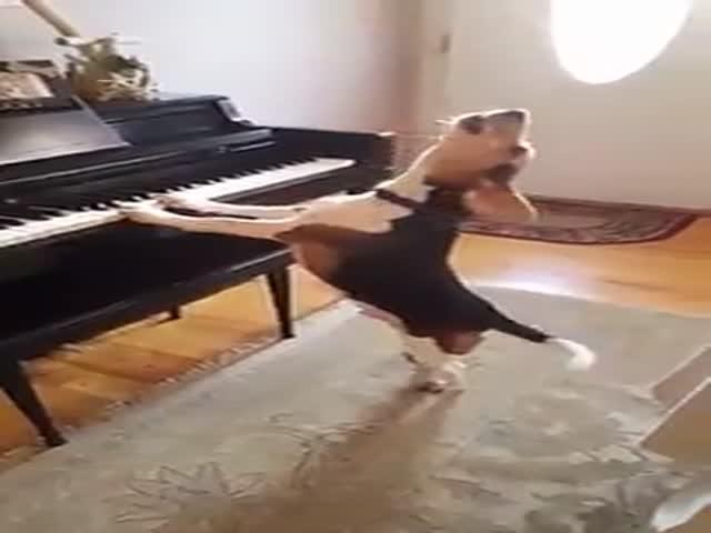 Собака играет на пианино и «поет» песню
