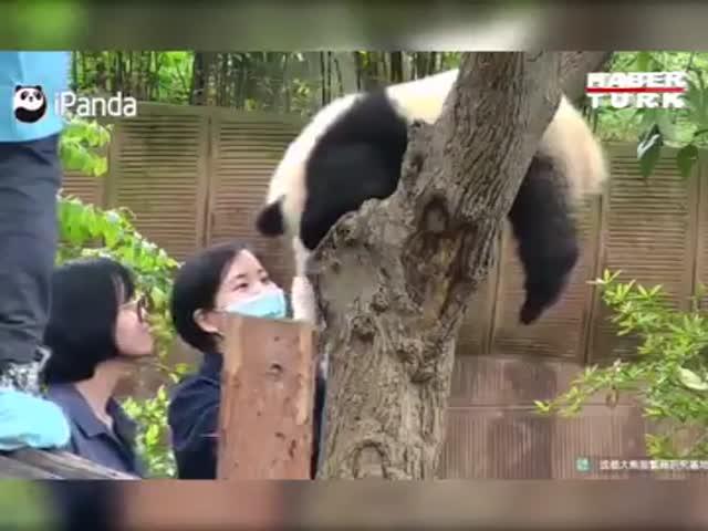 «Нападение» панды на человека