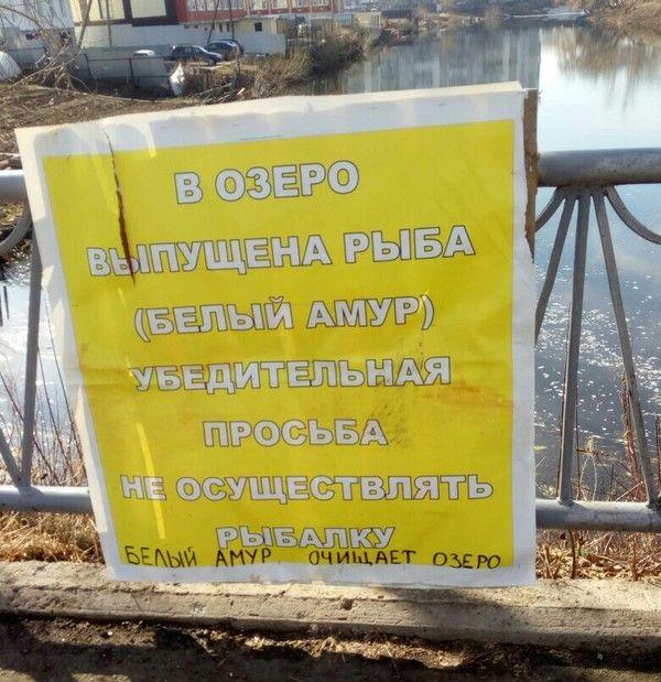 Белый амур в озере (2 фото)