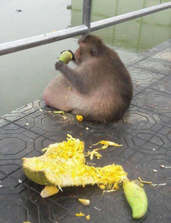 Самую толстую макаку Бангкока посадят на диету (10 фото)