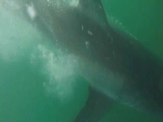 Встреча с огромной белой акулой