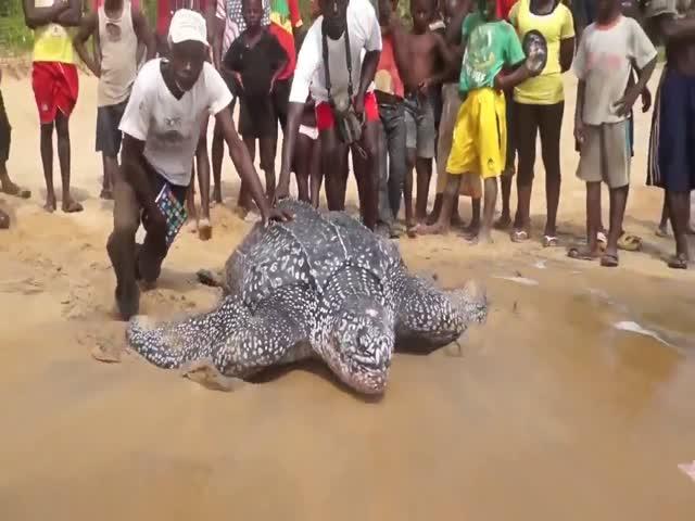 Кожистая черепаха возвращается в океан