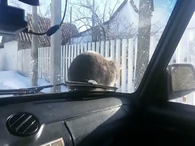 Кот проучил водителя, потревожившего его покой