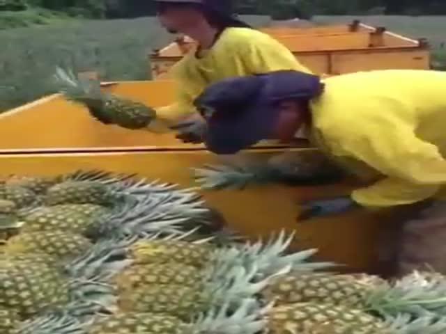 Укладывание ананасов на ананасовой плантации