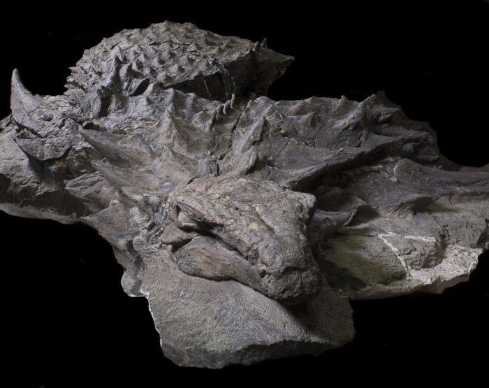 В канадском музее показали останки 110-летнего нодозавра (6 фото)